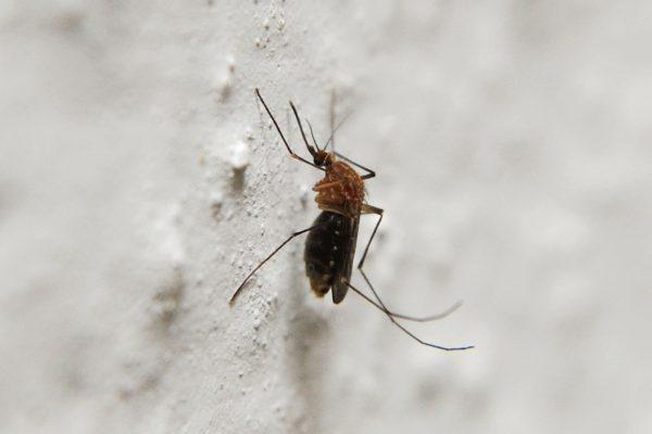 Quelle vitamine pour éloigner les moustiques ?